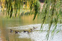 Geese in Central Park