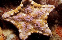 Detail of a colorful Goniasterid Sea Star, Tosia Australis