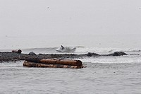 A surfer dodges logs on the Pacific coast of Vancouver Island