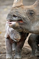 Indian One-horned Rhino (Rhinoceros unicornis), captive, 3 week old cub with mother