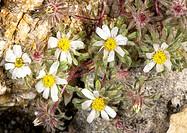 Mojave desertstar flowers Monoptilon bellioides