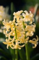 Common hyacinth Hyacinthus orientalis
