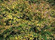 Abelia flowers Abelia x grandiflora ´Francis Mason´