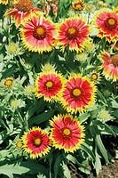 Blanket flower Gaillardia aristata ´Goblin´