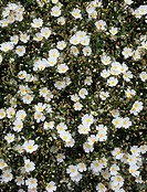 x Halimiocistus flowers x Halimiocistus sahuccii  These flowers are bi-generic hybrids  They have parents from two different genera  One parent is a c...