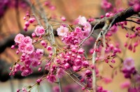 Japanese cherry blossom Prunus serrulata  Photographed in March