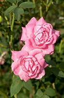 China-Bourbon rose Rosa ´Hermosa´