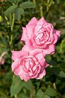 China-Bourbon rose Rosa ´Hermosa´
