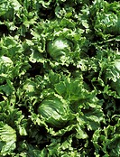Lettuce Lactuca sativa ´Iceberg Set´