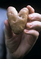 Holding an organic heart shaped potato Solanum tuberosum ´Anya´ in the hand