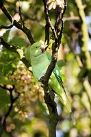 Ring-necked parakeet Psittacula krameri perched in a tree  This spieces is also known as the Rose- ringed Parakeet and it is considered to be popular ...