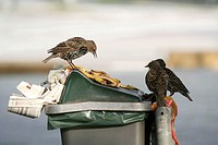 European starlings Sturnus vulgaris feeding on overflowing litter from a rubbish bin
