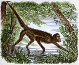 Spider monkey, coloured historical artwork  Spider monkeys Ateles sp  are arboreal monkeys that inhabit the tropical forests of Central America and no...
