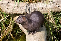 American mink Mustela vison  The American mink is a predatory mustelid which feeds on a variety of prey including amphibians, fish, insects and birds ...