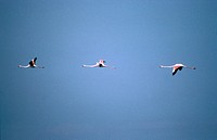 zoology / animals, avian, bird, birds, Greater Flamingo Phoenicopterus ruber, group of flamingos flying, Camargue, France, distribution: Southern Euro...