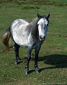 Zoologie, Säugetiere, Pferde, Equus, Wildpferd, Equus przewalski, Rasse: Dartmoorwildpferd, in Wiese stehend, Ganzfigur, Nahaufnahme, Pferd, Wildpferd...