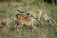 zoology / animals, mammal / mammalian, cheetah, Acinonyx jubatus, group of young cheetahs hunting gazelle Aepyceros melampus, Masai Mara, Kenya, distr...
