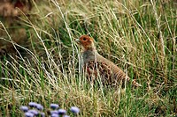 zoology / animals, avian / bird, Phasianidae, Grey Partridge Perdix perdix, standing in meadow, Oeland, Sweden, distribution: Europe, Asia, Öland, Ola...