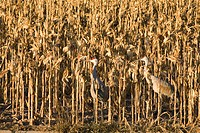 zoology, avian / bird, Gruidae, Sandhill Crane Grus canadensis, two animals in cornfield, Bosque del Apache Wildlife Refuge, New Mexico, distribution:...