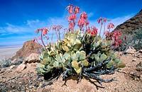 Pig´s Ear (Cotyledon orbiculata). Namib Naukluft Park. Namibia