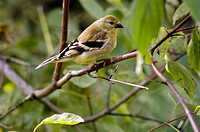 An American goldfinch, carduelis tristis, poses in a bush, Pennsylvania, USA