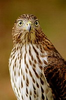 A Cooper's hawk, accipter cooperii, poses, Pennsylvania, USA