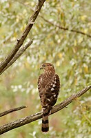 An immature Cooper's hawk, accipter cooperii, looks off to the side on a dead tree branch, Pennsylvania, USA