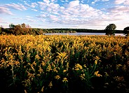 Goldenrod Solidago sp  grows along the shore of Nockamixon Lake in Buck County, Pennsylvania