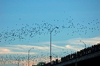 A flock of Mexican Free-tailed Bats Tadarida brasiliensis emerging from their roosts under the Congress Street Bridge in Austin, Texas  July, 2006