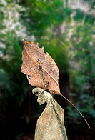 Leaf-mimic katydid Typophyllum sp , Amazon rainforest, Loreto, Peru  This leaf-mimic katydid looks incredibly similar to the dead brown leaves on whic...