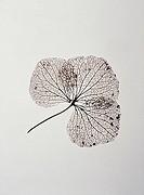 Foliage, leaf, leaf-framework, plants, foliage-leaf, decays rotted, Blattspreite, Blattnervatur, leaf-skeletons, leaf-veins, leaf-ribs, means-rib, sid...