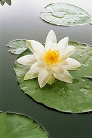 Waterlily-pond, waterlily, Nymphaea alba, bloom, series, knows sea, pond vegetation plant water-plant pond-plant, waterlily-plant, Nymphaeaceae, flowe...