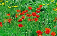 Poppy-meadow, summers, meadow, flower-meadow, flowers, gossip-poppy-meadow, poppies, poppy, gossip-poppy, fire-poppy, field-poppy, wild poppy, poppy-b...