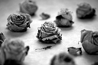 Rose-blooms, dried, s/w, flowers, roses, blooms, bloom-heads, petals, arrangement, decoration, Deko, fades, withers, wilts, concept, transience, fact-...