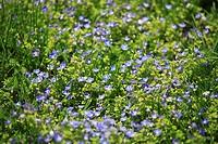 Meadow, Gamander-Ehrenpreis, Veronica Chamaedrys, prime, meadow-flowers, flowers, plants, special award, Braunwurzgewächse, blooms, blue, purple, natu...