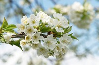 Cherry-bloom, blooms, branches, petals, stamens, leaves, heavens, white, blue, 04/2006