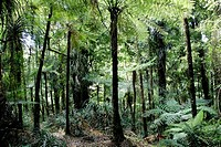 Tree ferns in Pirongia Forest Park, North Island, New Zealand