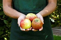 Garden, woman, garden-apron, detail, hands, apples, kind ´Gravensteiner´, harvested, picked, presents, autumn, agriculture, horticulture, gardening, o...