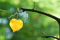 Branch, detail, linden-leaf, yellow, heart-form, M, nature, plant, linden, fall leaf, heart-leaf, tree, leaf, coloring, season, autumn, autumnal, hear...