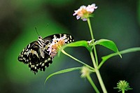 Dovetail, Papilio spec , Flower, blooms, animals, insects, Schuppenflügler, butterflies, butterflies, butterflies, knight-butterflies, swallow-tails, ...