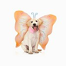 Portrait of white Labrador retriever wearing butterfly costume