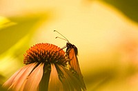 Monarch on Echinacea Flower