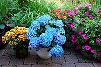 Garden, summers, flowers, hydrangea, Hängepetunien, chrysanthemums,