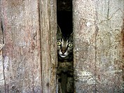 Cat peeking through a narrow slit in a wooden wall