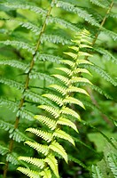 Ferns, close-up
