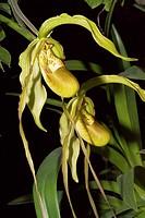 Phragmipedium humboldtii x longifolium