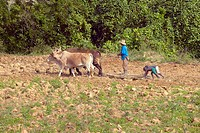 Oxen, man and two boys plowing field in central Cuba