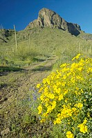 Yellow desert flowers blossoming in spring at Picacho Peak State Park