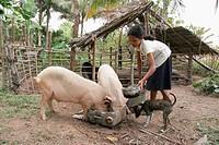 Girl feeding pigs, Kampong Thom. Cambodia.