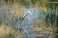 Heron in swamp